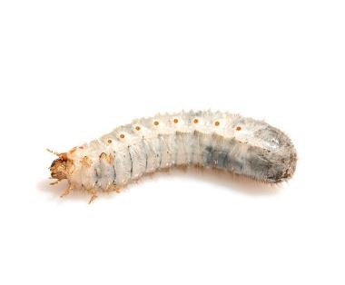 Houtworm bestrijden - Jollie Ongediertebestrijding
