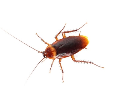 Kakkerlakken bestrijden - Jollie Ongediertebestrijding