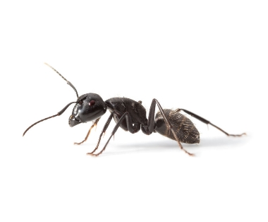 Mieren bestrijden - Jollie Ongediertebestrijding