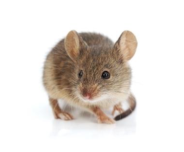 Muizen bestrijden - Jollie Ongediertebestrijding