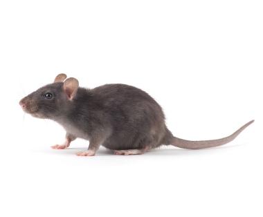 Ratten bestrijden - Jollie Ongediertebestrijding