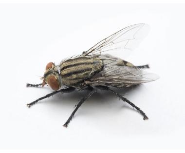 Vliegen bestrijden - Jollie Ongediertebestrijding