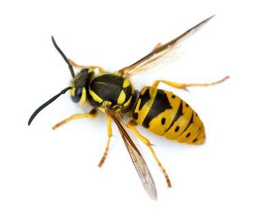 Wespen bestrijden - Jollie Ongediertebestrijding